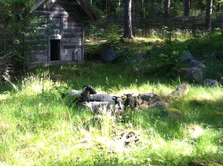 Gästrikefår på vikingagården. Foto: Emma Frost